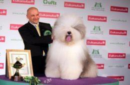 a világ legszebb kutyája bobtail Jimmy